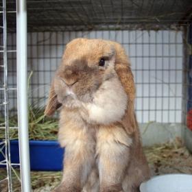 абсцесс у кролика