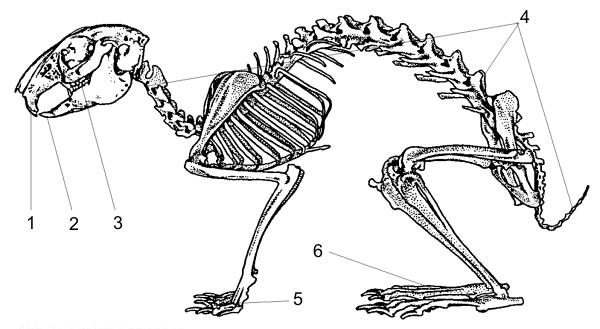 Krolik skelet - Feldhase steckbrief ...