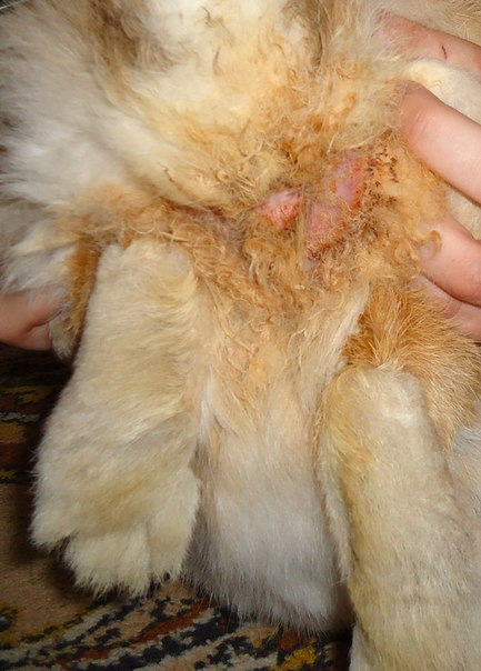 У декоративного кролика грязная попа