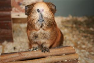 guinea_pig3