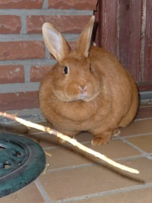 fat_rabbit
